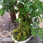 Kỹ thuật trồng cây sung cảnh