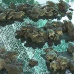 Mô hình nuôi ếch thành công ở Hưng Yên