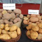 Nhận biết khoai tây Trung Quốc và khoai tây Đà Lạt