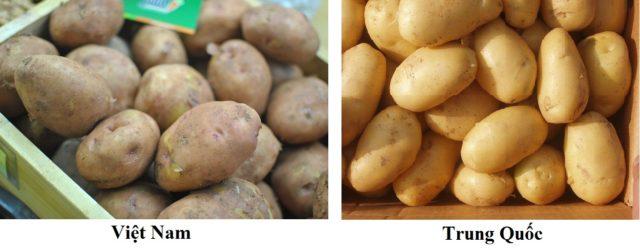 Nhận biết khoai tây Trung Quốc và khoai tây Đà Lạt - raucutrungquoc60 640x250