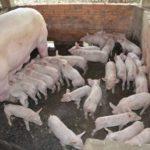 Khắc phục hiện tượng lợn mẹ cắn lợn con