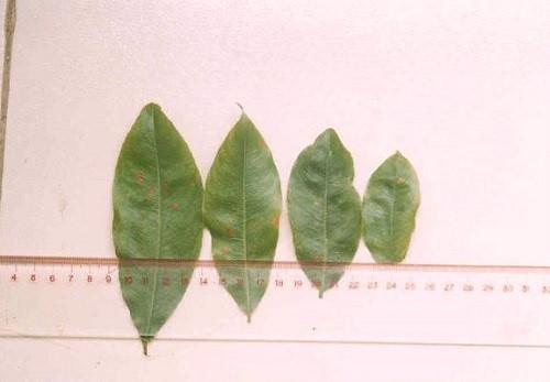 Các bệnh thường gặp trên cây mai vàng - benh si set