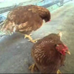 Điều trị thương hàn ở gà lai trọi - benh thuong han o ga de 150x150