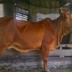 Kỹ thuật chăm sóc bò khi bị chướng hơi, khó tiêu
