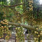 Mô hình kết hợp trồng cây dâu bòn bon và du lịch sinh thái
