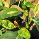 Phòng trừ bệnh khô lá cho cây chè - cay che bi kho la 150x150