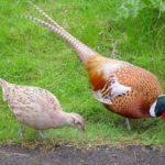 Kỹ thuật nuôi chim trĩ thời kì đẻ trứng và ấp nở - chim tri ap trung jpeg 150x150