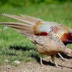 Các loại thức ăn nuôi chim trĩ - chim tri tap tinh 1 150x150