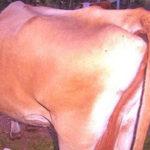 Phòng và trị bênh chướng hơi dạ ở gia súc - chuong da hoi 150x150