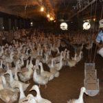 Kỹ thuật làm chuồng nuôi nhốt vịt - chuong vit 150x150