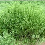 Kỹ thuật trồng một số loại cỏ cho gia súc