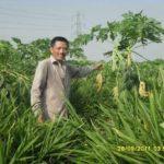 Mô hình trồng xen canh trồng gừng dé và đu đủ
