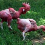 Khắc phục gà nuôi chốt mổ lông lẫn nhau