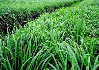Kỹ thuật trồng một số loại cỏ cho gia súc - ky thuat trong co ghine lam thuc an cho gia suc
