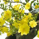 Các bệnh thường gặp trên cây mai vàng