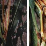 Kỹ thuật chăm sóc cây ngô bị thối thân do nấm gây ra