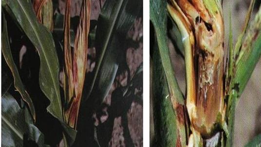Kỹ thuật chăm sóc cây ngô bị thối thân do nấm gây ra - nam thoi than ngo jpeg
