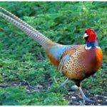 Những tập tính và thói quen của chim trĩ