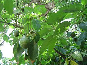 Nguyên nhân và cách khắc phục hiện tượng Bơ dụng trái non - rung trai non cay bo
