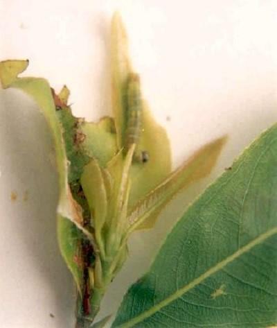 Các bệnh thường gặp trên cây mai vàng - sau an la