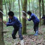 Chăm sóc cây cao su vào mùa mưa