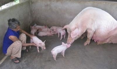 Khắc phục hiện tượng lợn mẹ cắn lợn con - thumbnail 1485318137