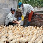 Quy trình phòng bệnh trọng chăn nuôi gà - tiem phong ga 150x150