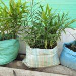 Kỹ thuật trồng gừng trong bao tải