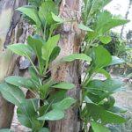 Mô hình trồng rau trên chuối