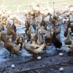 Nhu cầu dinh dưỡng của vịt giai đoạn đẻ trứng