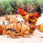 Phòng và trị bệnh Leucosis ở gà