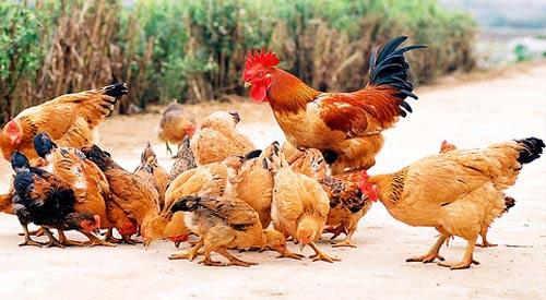 Phòng và trị bệnh Leucosis ở gà - vitamin ga1