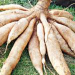 Kỹ thuật bón phân cho cây sắn (khoai mì)