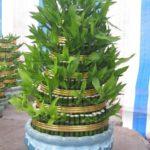 Ý nghĩa phong thủy của cây phát lộc - y nghia cay phat loc 150x150