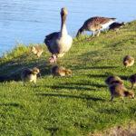 Quy trình kỹ thuật chăn nuôi ngỗng thả đồng – Phần 2