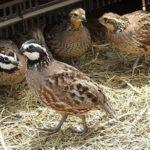 Đặc điểm và nguồn gốc của chim cút