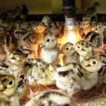 Kinh Nghiệm Chọn Chim Trĩ Giống - chim tri giong 150x150