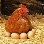 Kinh nghiệm làm gà ta bỏ ấp sau khi đẻ