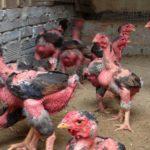 Phòng và trị bệnh khò khè ở gà Đông Tảo