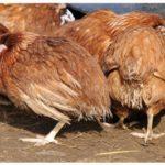 Dấu hiệu cho biết gà thiếu vitamin A - ga thieu vitamin 150x150