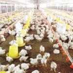 Tiêu chuẩn trong chăn nuôi gà - trang trai ga 150x150