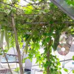 Mẹo đuổi sâu bọ, cây sai trái của các chủ vườn nhà phố