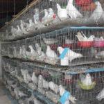 Phòng trị bệnh và nuôi chim bồ câu