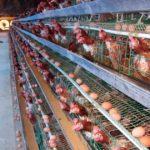 Thức ăn giúp giảm lượng khí thải Amoniac trong chuồng chăn nuôi gà đẻ