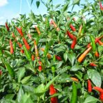 Kỹ thuật trồng ớt cay – Phần 2