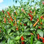 Kỹ thuật trồng ớt cay – Phần 2 - ot 7 150x150