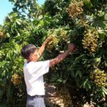 Nhãn chậm ra hoa xử lý thế nào? Xử lý ra hoa, đậu quả cho nhãn - nhan cham ra hoa xu ly the nao 150x150
