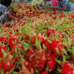 Xuất khẩu rau quả Việt phụ thuộc vào Trung Quốc ngày càng lớn - xuat khau rau qua viet phu thuoc vao trung quoc ngay cang lon 150x150