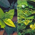 Ngộ độc dinh dưỡng trên cây trồng – Nguyên nhân và biện pháp xử lý