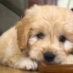 Chó bị rụng lông – Nguyên nhân và cách chữa trị